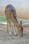 Spotted_Axis_Deer also Known as Chital Deer