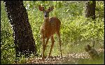 White-Tailed_Deer_in_Forest
