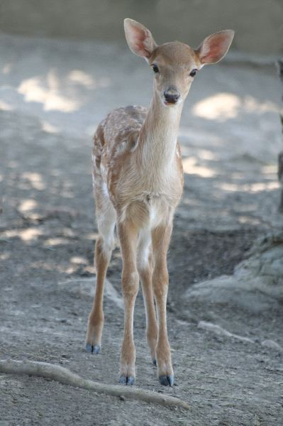 Beautiful Smal Fawn