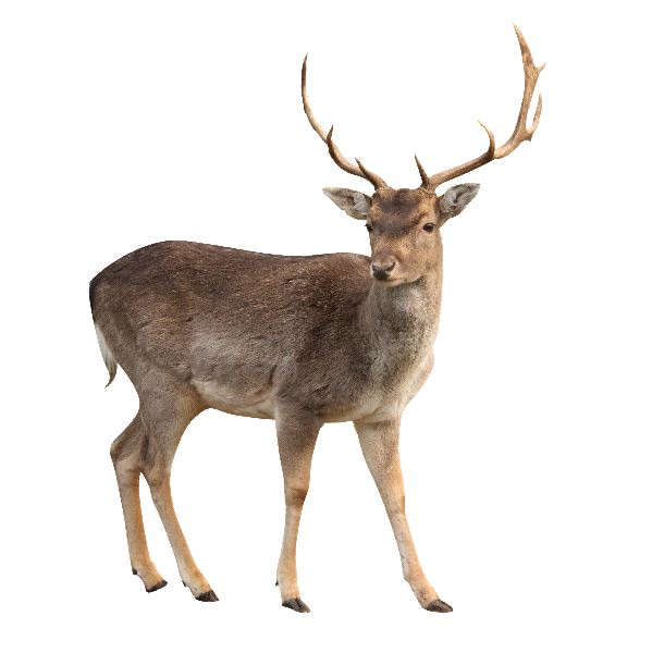 Buck Deer in White Background
