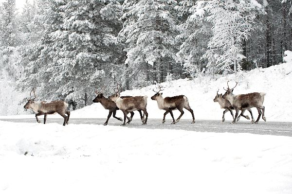 Group of Reindeers Crossing a Road