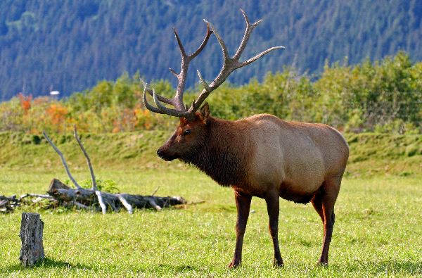 Elk_in_the_Wild photo