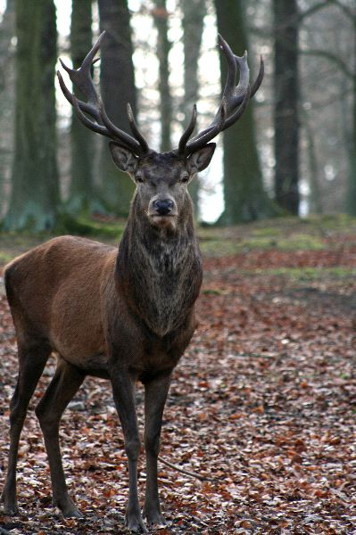 Old Male Red Deer