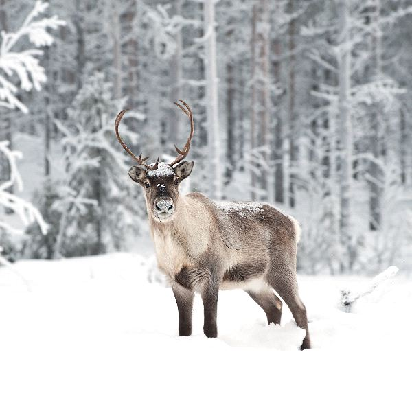 Reindeer in the Wild