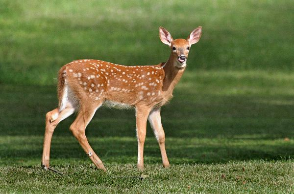 White Tailed Deer Fawn photo