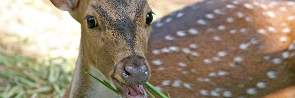 Axis Deer Or Chital Deer Deer Facts And Information