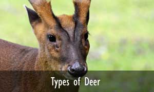 Types of deer